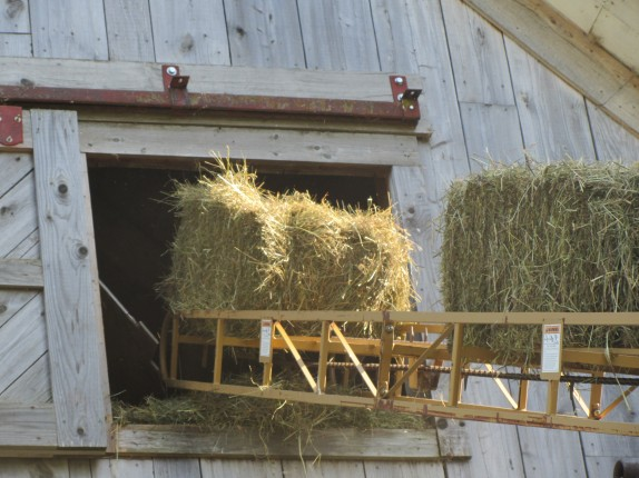 moving bales on the elevator to the hay mow